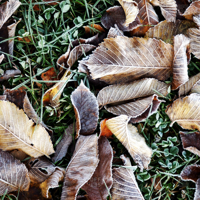 Frozen leaves on the ground