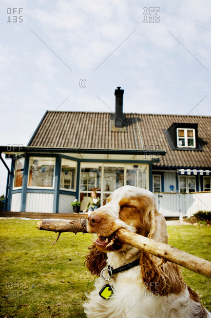 Dog carrying a stick in his mouth in front of villa
