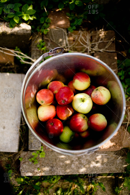 Overhead view of summer apples in a bucket