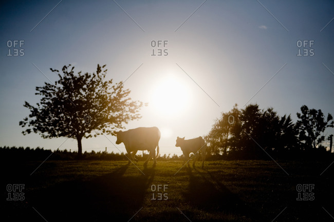 Evening view with cows