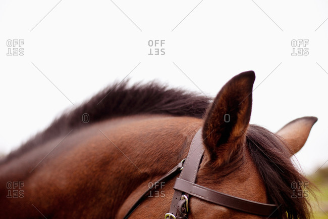 Close-up of a racehorse's ear with bridle