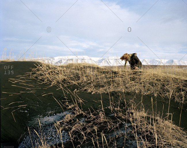 Woman standing in a wheat field leaning forward into a strong wind