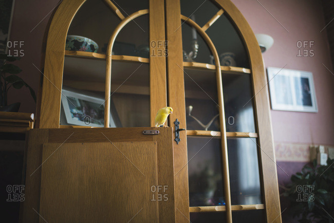 Canary sitting on cabinet door