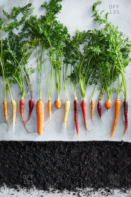 Carrots in a row above a line of soil
