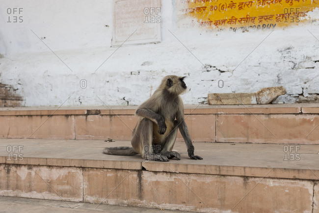 Gray Langur sitting on steps