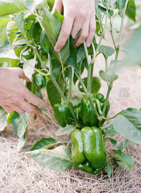 Hand checking fresh green peppers