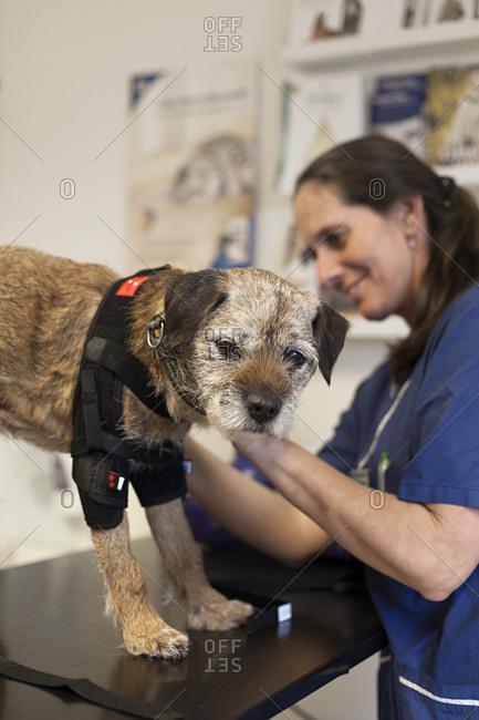 Veterinarian with border terrier rehabilitation patient