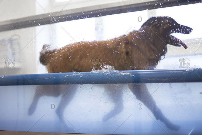 Canine Hydrotherapy Pool With A Tervuren Running Stock Photo