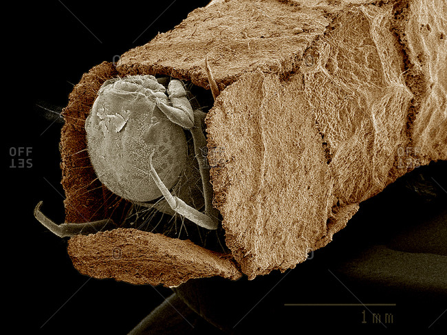 Caddisfly larva in case constructed from leaf bits SEM
