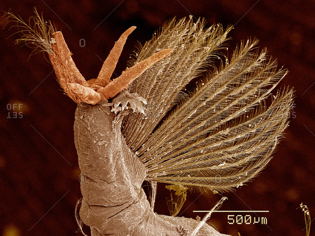 Tail of Phantom Midge larva, Chaoboridae SEM