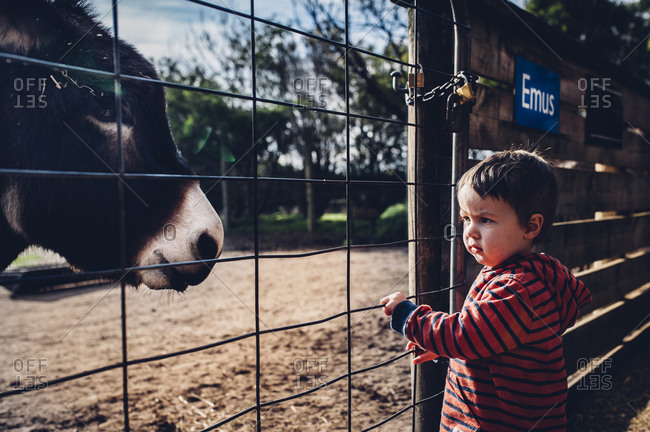 Toddler looking through fence at a donkey