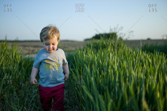 Toddler boy walking in a wheat field at dusk