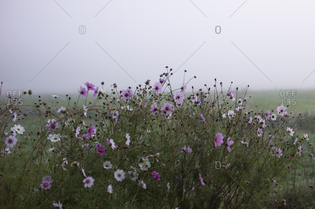 Pink flowers in the fog