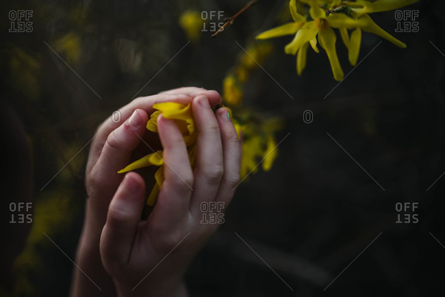 Young child's hands cupping forsythia blossoms