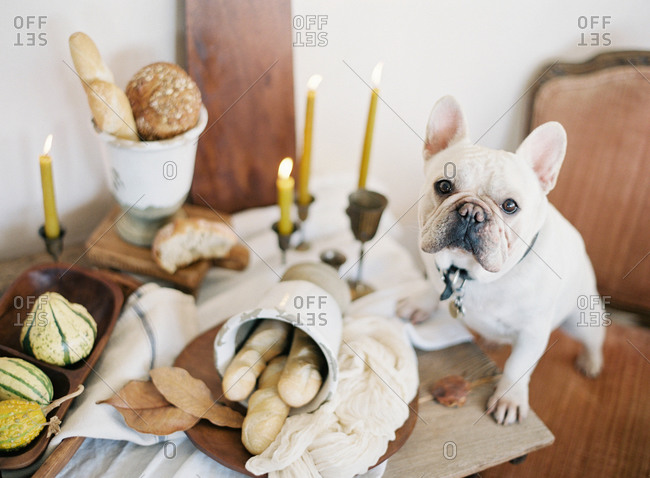 French bulldog sitting on chair with paws on table with bread