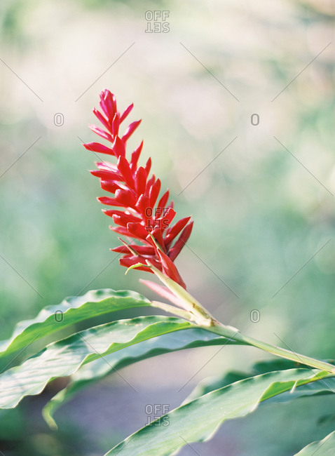 Close up of a Red Ginger plant