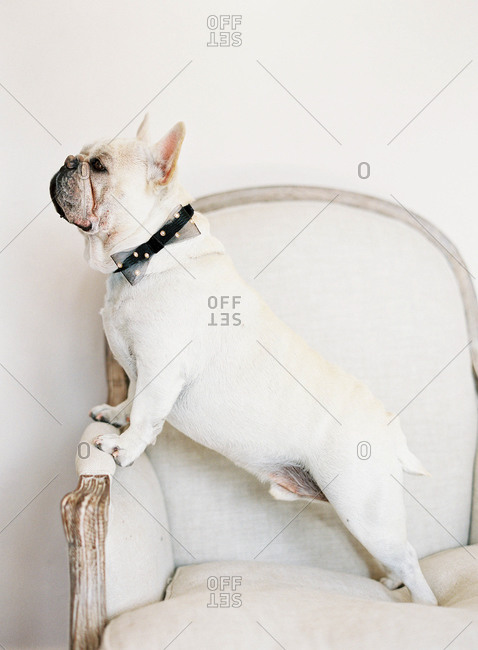 French bulldog sitting on chair wearing bow tie