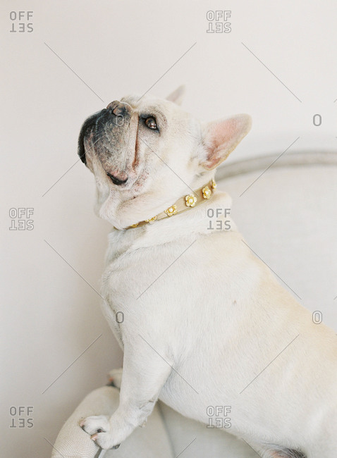 French bulldog sitting on chair wearing gold collar with flowers