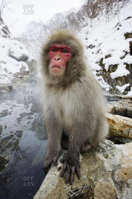 Monkey crouching on rock near snowy river