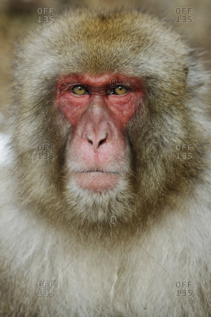 Close up of face of serious monkey