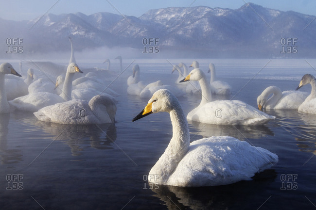 Flock of swans swimming in remote lake