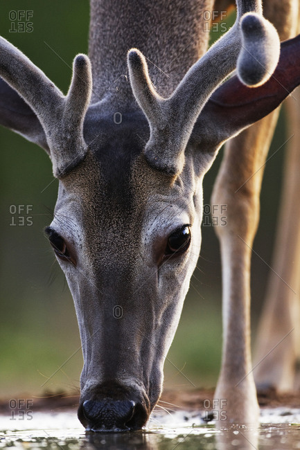 Close up of white tailed deer drinking water