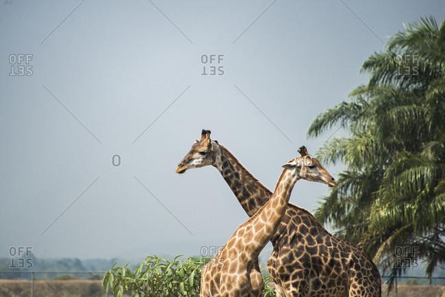 Giraffes standing near palm trees under blue sky