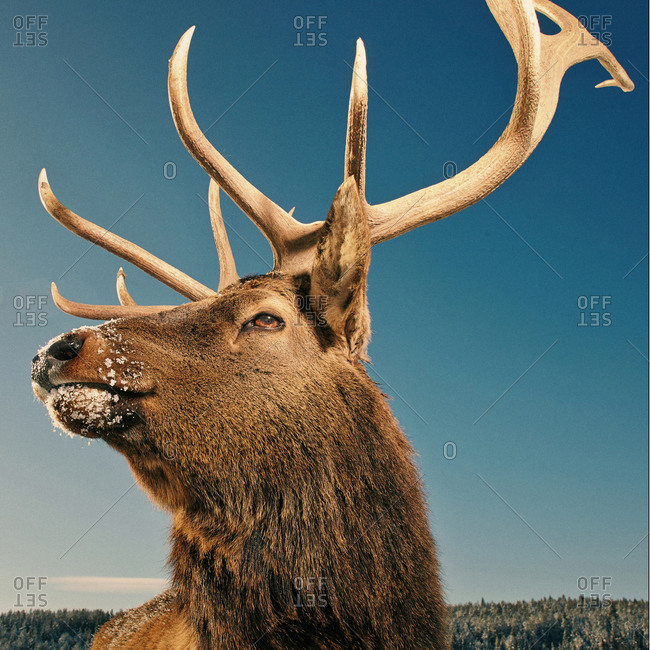Close up of elk with antlers under blue sky in winter