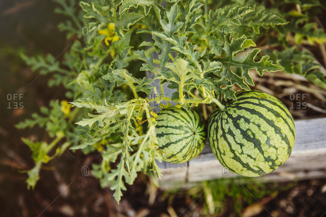 Close up of watermelons growing on plant in garden