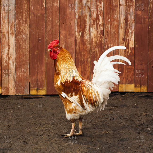 Rooster standing in dirt yard