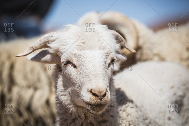 Close up of face of sheep