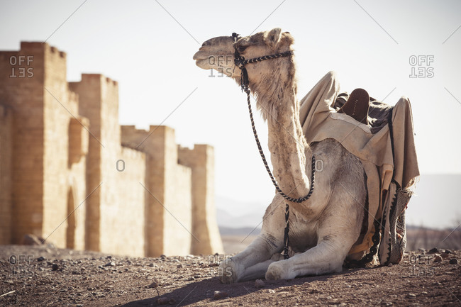 Camel resting outside city walls in desert, Ouarzazate, Souss-Massa-Draa, Morocco