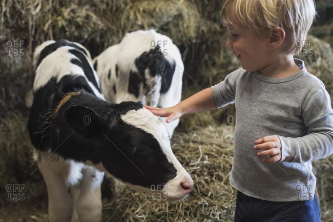 Caucasian boy petting cow in barn