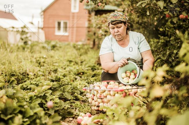 Caucasian woman picking apples on farm