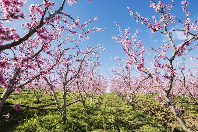 Blooming cherry trees in rural field