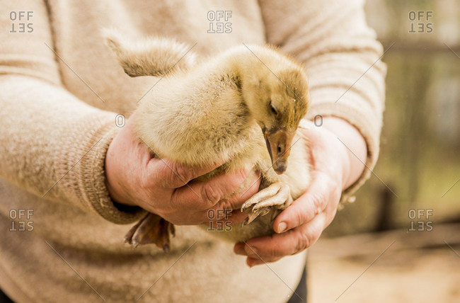 Caucasian farmer holding duckling on farm