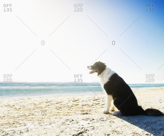 Dog panting and sitting on beach
