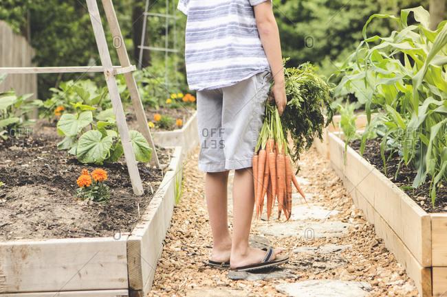 Caucasian boy holding carrots in garden