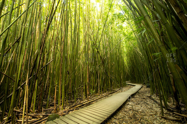 Wooden walkway through bamboo forest