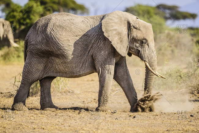 Elephant walking in sand