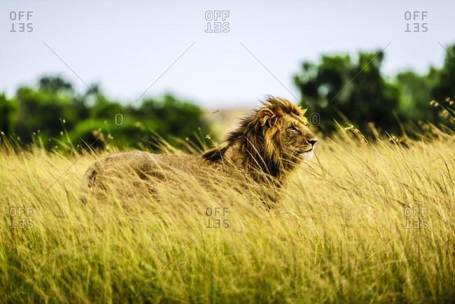 Lion standing in tall grass