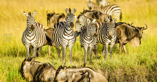 Zebras and wildebeest standing in grass