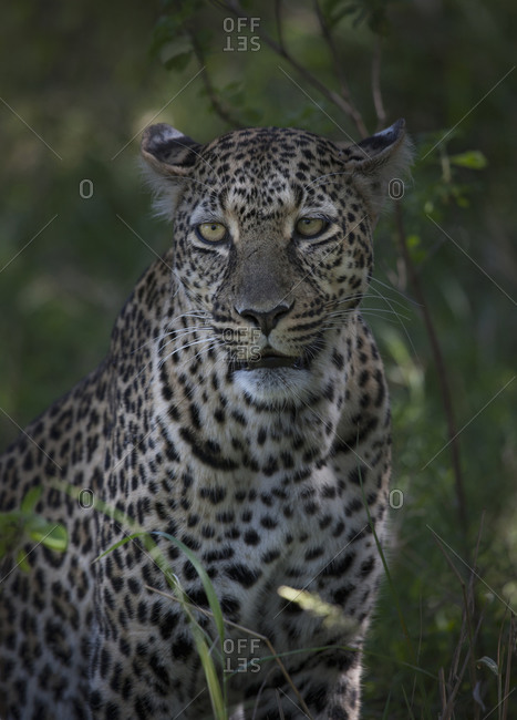 Close up of leopard in grass
