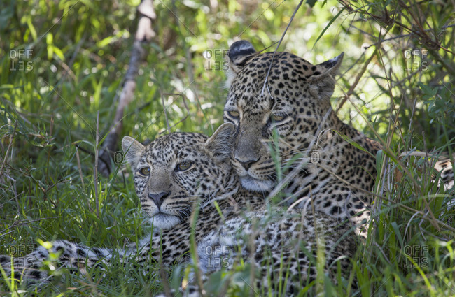Leopards laying in grass