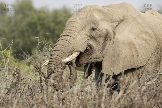 Elephant grazing on thorn bush