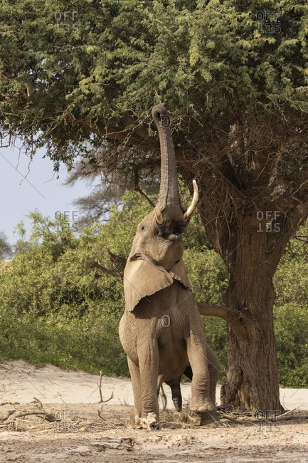 Elephant reaching to eat tree branches