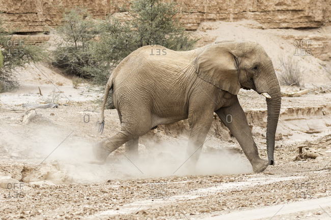Elephant walking in dusty desert