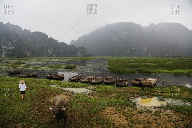 Woman and buffalo near boats in rural marsh