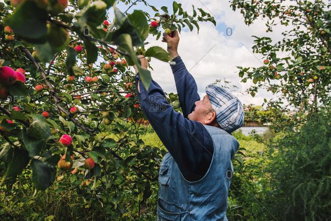 Caucasian farmer picking fruit from tree
