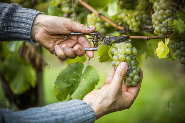 Caucasian farmer clipping grapes from vine
